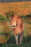 Portret przystojna Męska lwa Leo Panthera pozycja w Masai Mara Obraz Royalty Free