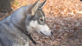 Portret psi traken Zachodni Syberyjski Laik zbiory