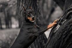 Portret psi trakenu Doberman na ciemnym drewnianym tle obrazy stock