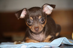 Portret psiego trakenu Rosyjski zabawkarski terier Fotografia Royalty Free