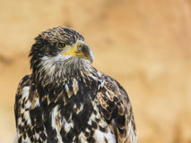 Portret ptak zdobycz Obrazy Royalty Free