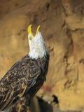 Portret ptak zdobycz Fotografia Stock
