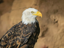 Portret ptak zdobycz Obraz Royalty Free
