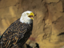 Portret ptak zdobycz Fotografia Royalty Free