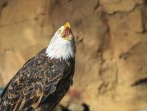 Portret ptak zdobycz Zdjęcia Stock