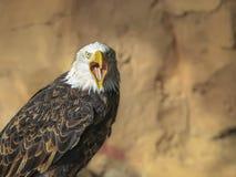 Portret ptak zdobycz Obrazy Stock