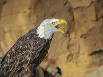 Portret ptak zdobycz Zdjęcie Royalty Free