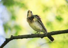 Portret ptasi drozd siedzi na gałąź w wiosna parku Zdjęcia Royalty Free