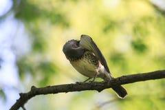 Portret ptasi drozd siedzi na gałąź w wiosna parku i Zdjęcia Royalty Free