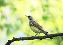 Portret ptasi drozda obsiadanie na gałąź w wiosna parku Fotografia Stock