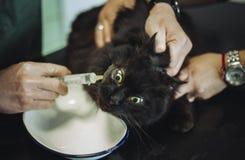 Portret purebred czarny Chantilly Tiffany kot w weterynaryjnej karetce z weterynarzem Ciemny tomcat z urazem na głowy i oka dosta fotografia stock