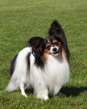 Portret purebred Papillon pies Zdjęcie Royalty Free