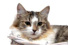 Portret puszysty kot na białym tle Fotografia Royalty Free
