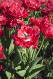 Portret różowy tulipan Zdjęcia Stock