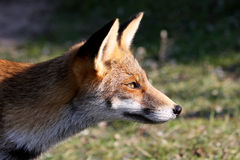 Portret of a red fox Stock Photo