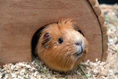 Portret of red guinea pig in her wooden house Royalty Free Stock Photos