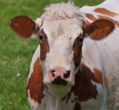 Portret of a red spotted Dutch cow Stock Photos