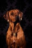 Portret Rhodesian Ridgeback dama w złotej biżuterii Obraz Stock