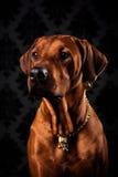 Portret Rhodesian Ridgeback dama w złotej biżuterii Obraz Royalty Free