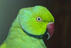 Portret ringneck papegaai Royalty-vrije Stock Fotografie