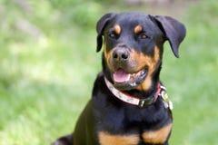 Portret Rottweiler kamery Psi przyglądający dobro zdjęcie stock