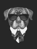 Portret Rottweiler w kostiumu Fotografia Royalty Free