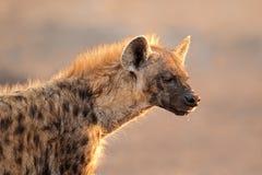 portret rozpoznał hiena Obrazy Stock