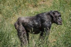 Portret rozważny szympans z bliska fotografia stock