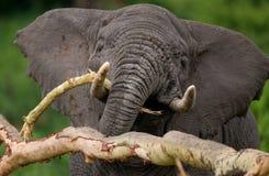 Portret słoń Zakończenie africa Kenja Tanzania kmieć Maasai Mara zdjęcie stock