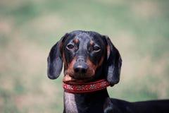 Portret słodki czarny i dębny Duchshund pies na zielonym tle z spojrzenia dobrem kamera, mądry i baczny fotografia royalty free