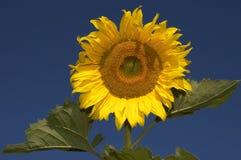 portret słonecznik Fotografia Royalty Free