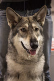 Portret Saarloos wolfdog przy zawody międzynarodowi jest prześladowanym wystawę Mediolan, Włochy Obraz Stock