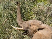 Portret samiec pustyni słonia karmienie na drzewie w Hoarusib rzecznym łóżku, Namibia, afryka poludniowa Obraz Stock
