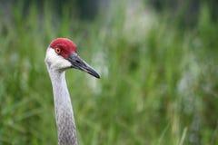 portret sandhill crane Obrazy Royalty Free