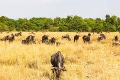 Portret sawanna podczas wielkiej migraci Mara kenya masai zdjęcie stock