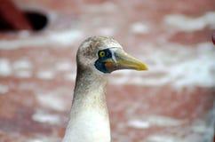 Portret seabird wymieniaj?cy Zamaskowany dure? fotografia royalty free