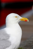 Portret of seagull Stock Photos