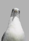 Portret seagull ptak Zdjęcia Royalty Free