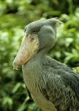 Portret shoebill - jeden ciekawić dużych ptaki Obraz Royalty Free