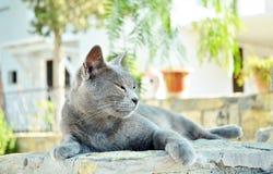 portret siamese kot zdjęcia stock