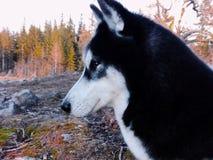 Portret siberian husky wymieniał Oakley w lesie zdjęcie stock