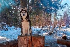 Portret Siberische schor zitting op stomp in de winter bos Snow-covered boslandschap met hond op duidelijke ijzige zonnige dag stock afbeelding