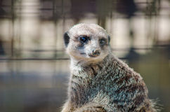 Portret siedzący meerkat Zdjęcie Royalty Free