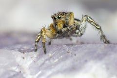 Portret Skokowy pająk Obrazy Stock