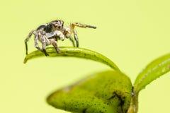 Portret Skokowy pająk Zdjęcia Royalty Free