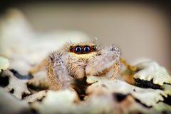 Portret skokowy pająk Obrazy Royalty Free