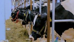Portret smutna krowa przy nabia?u gospodarstwem rolnym zdjęcie wideo