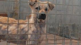 Portret smutny pies w schronieniu za płotowym czekaniem ratować i adoptującym nowy dom Schronienie dla zwierzęcia pojęcia zbiory wideo