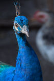 Portret splendide de paon (Pavo Cristatus) Photo stock