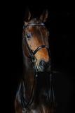 Portret sporta koń Fotografia Stock